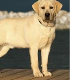 Labrador Sable